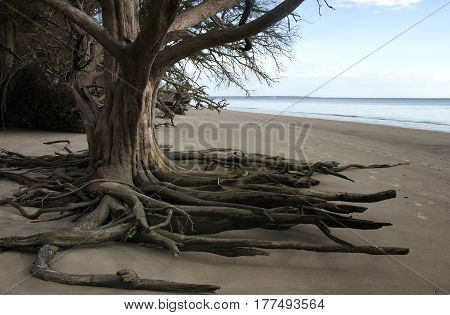Exposed roots of an old oak tree from the erosion of the waves of the Atlantic Ocean on Jekyll Island, Georgia