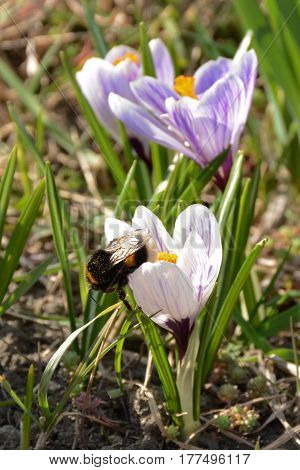 Beatiful bumblebee sitting on white crocus flower closeup. Spring mood
