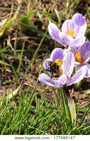 Beatiful bumblebee sitting on light violet crocus flower closeup. Spring mood