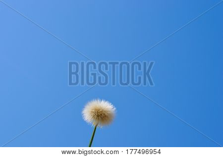 dandelion seeds and clear blue sky background