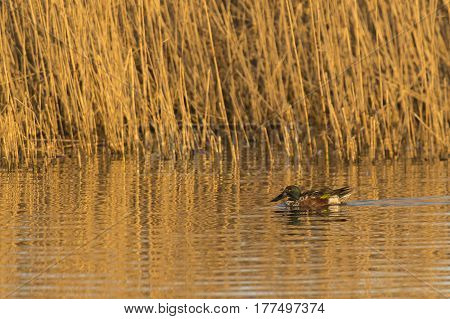 Northern Shoveler (Anas clypeata) juvenile drake swimming in water of a Lake in late afternoon Sunlight alongside Reed