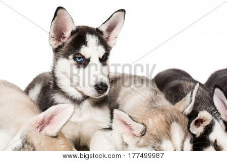 group of happy siberian husky puppies on white. Beautiful puppies. One puppy looks at the camera while the others sleep