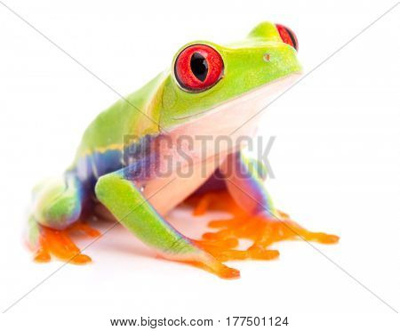 Red eyed tree frog, Agalychnis callidryas, a beautiful animal from the tropical rain forest of Panama and Costa Rica