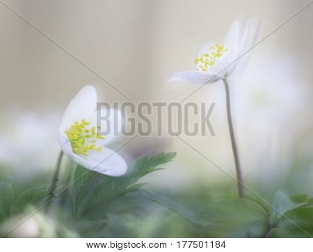 Dreamy wood anemone wild flowers. Soft focus image a white spring flower Anemone nemorosa.