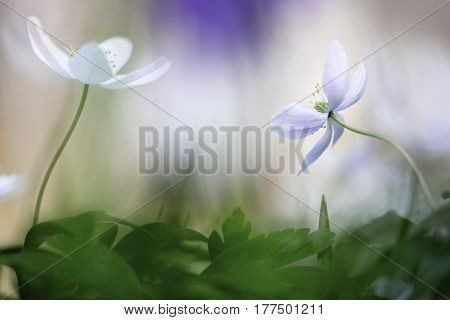 Spring wild flowers, Anemone nemorosa. The white wood anemones are forest wildflowers creating flower carpets on the floor of beech forests.