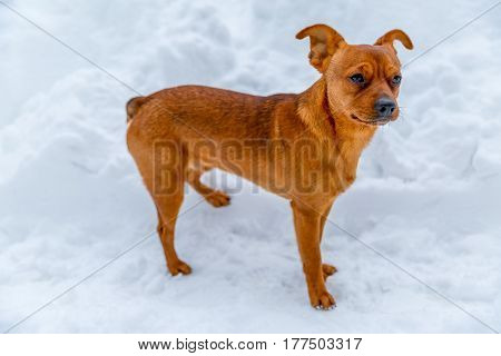 Small dog on a white snow looking into the distance