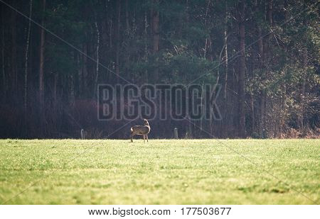 Roe deer doe standing in a meadow.