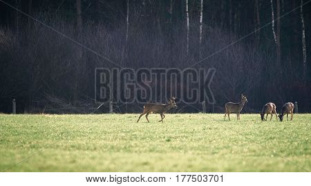 Group Of Roe Deer In Field Near Foest.