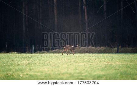 Roe deer buck walking over a meadow.