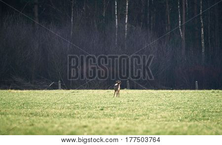 Washing Roe Deer Buck With Bark Antlers.