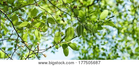 Wide image of lush early spring foliage - vibrant green spring fresh leaves of poplar tree in spring in protected forest