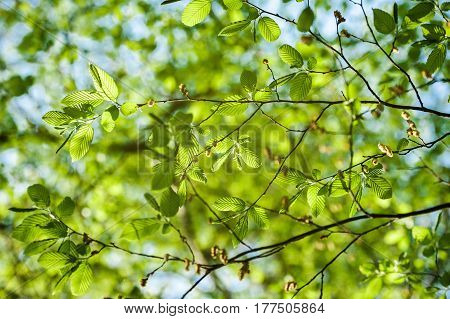 Lush early spring foliage - vibrant green spring fresh leaves of poplar tree in spring in protected forest