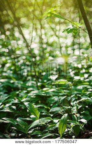 Wild Garlic In Forest , Bears Garlic Leaves In Forest - Allium Ursinum