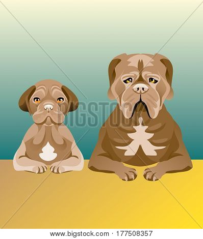 Set of two Mastiff dogs sitting at the table and looking forward. One of them is a puppy, and another is an adult. Brown color, hanging ears and cheeks.