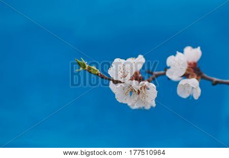 Malus pumila - natural lovely pink fragrant spring flowers of a paradise apple-tree in small DOF