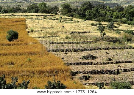 The Agriculture and crop fields in Ethiopia