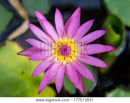 The Lotus Flower.Background is the lotus leaf and lotus flower and lotus bud and lotus flower.
