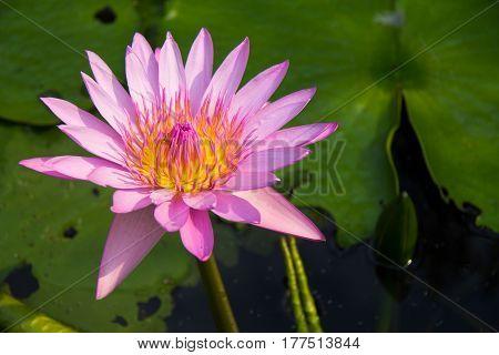 soft focus of lotus flower and soft color for background. The Lotus Flower. Background is the lotus leaf.