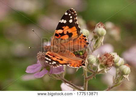 Magnificent orange butterfly collects nectar on blurred background