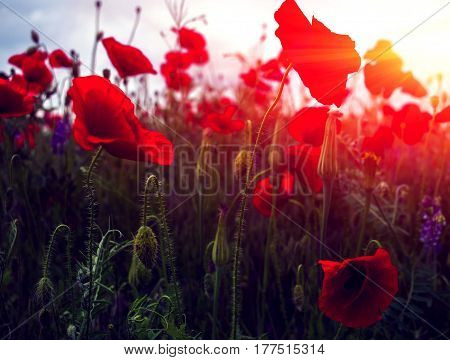 wild poppy flower on field on a blurred background at sunset.