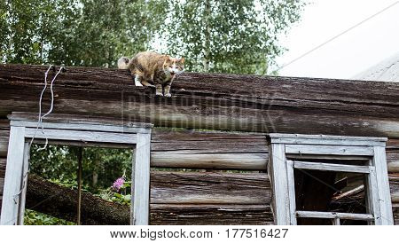 Domestic cat can not get down. Curious image.