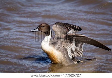 Northern Pintail Duck (Anas Acuta) Male flapping wings