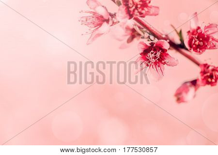 Tree flowers spring blossom, branches close-up background