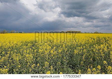 Blooming rapeseed field with dark clouds