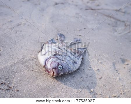 Dead fish died aground on a beach