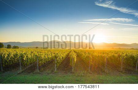 Bolgheri and Castagneto vineyards sunrise backlight in the morning. Maremma Tuscany Italy Europe.