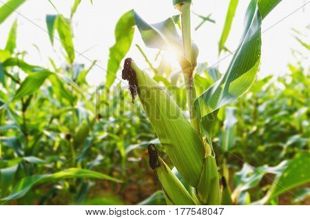 Corn agriculture. Green nature. Rural field on farm land in summer. Plant growth. Farming scene. Outdoor landscape and sunlight