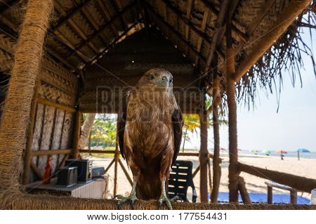 Evil Flightless Eagle As A Pet For Entertainment