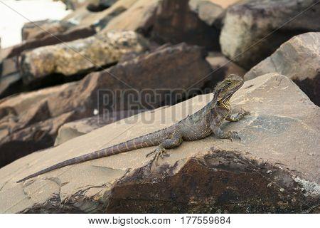 The iguana water dragon on the rocks on the beach in Byron Bay, Australia