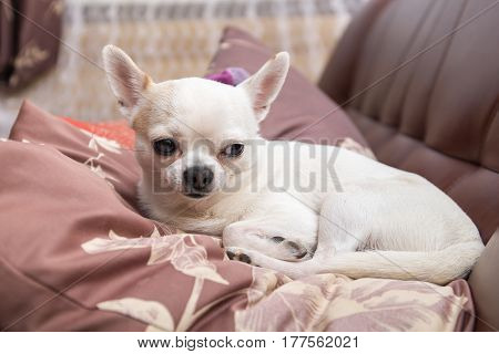 Portrait of a chihuahua on the couch