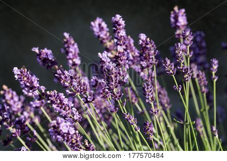 Garden with the flourishing lavender in France