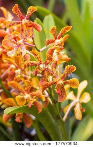 orange Hybrid Vanda orchid , Fah Mui