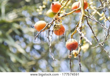 seeds of betel palm or betel nut seed