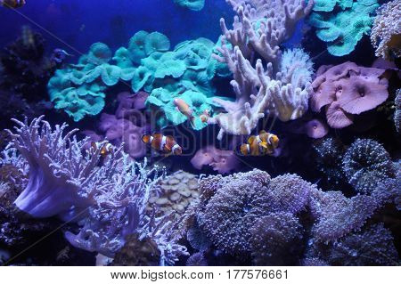 Anemonefishes in a aquarium with reeves and corals