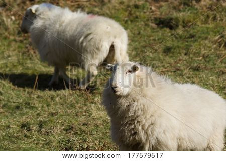 Welsh mountain sheep ewes a hardy breed suited to the harsh hill and mountain ranges of Wales usually kept outdoors all year round