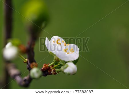Blossoming branch with flower of cherry, springtime
