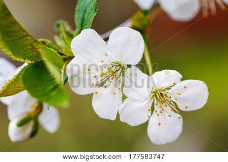 cherry tree with a sprign blossoms, springtime