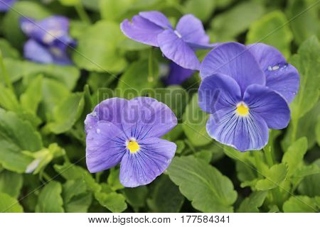 Closeup Of Violas Or Pansies At Flower Bed