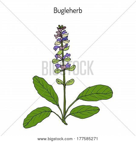 Bugleweed Ajuga reptans or blue bugle bugleherb carpetweed. Hand drawn botanical vector illustration