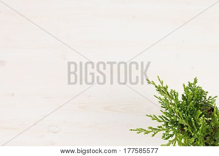 Green conifer plant juniper in pot top view on white wooden board background. Blank copy space.