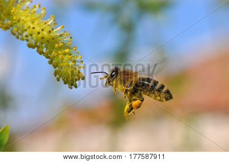 Honey bee collecting nectar on yellow flower, Honey Bee in flight in front of wild flowers