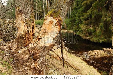 Beaver dam with river and very old trees
