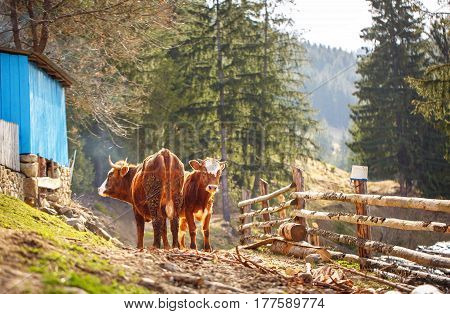Cow and calf stand on dirt road in the village