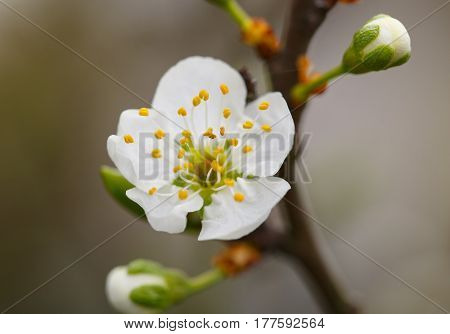 Blossoming branch with flower of plum, springtime