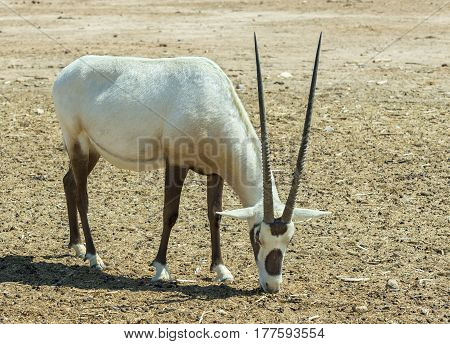 The antelope Arabian white oryx (Oryx dammah) inhabits the Israeli nature reserve because this species is in danger of extinction in its native environment of Sahara desert
