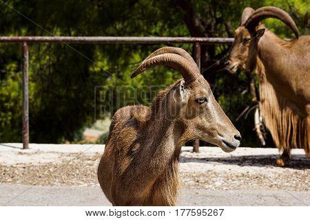 Alpine ibex, Capra . Old male Alps Italy